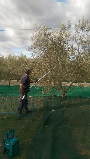 Guillio picking olives