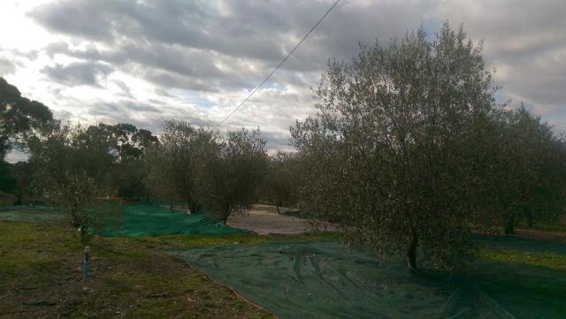nad picking olives