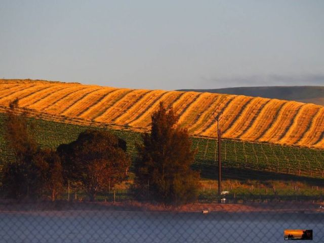 Golden Vines