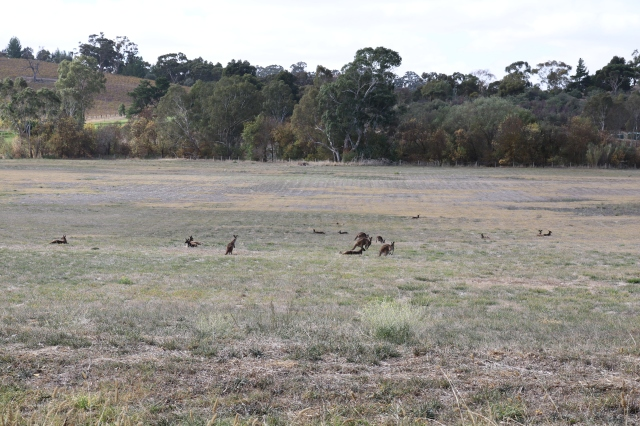 The Main North Road Kangaroos